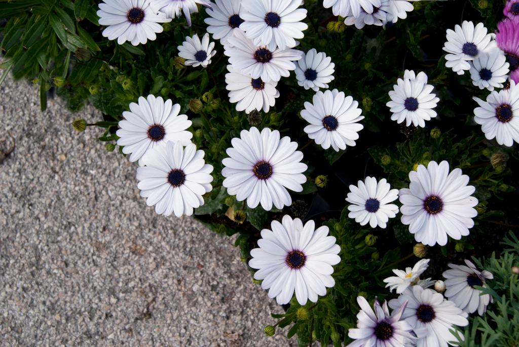 Summer white flower camomile